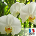 Parfum pour Bougie - Orchidée Blanche 0