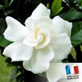 Parfum pour Bougies - Gardenia 0