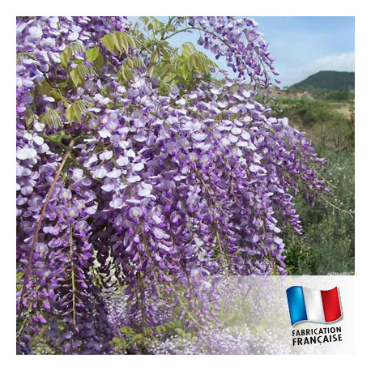 Parfum pour bougies - Glycine