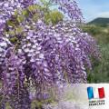Parfum pour bougies - Glycine 0