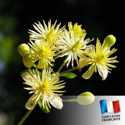 Parfum pour bougies - Tilleul