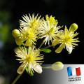 Parfum pour bougies - Tilleul 0